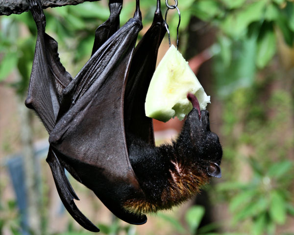 Fruit bat at a zoo